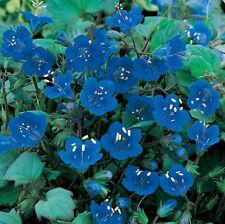 Bluebell Seeds, California Bluebells, Wildflower Seeds, Bulk Seed, Non-Gmo 500ct