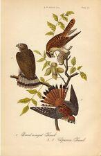 Rare 1888 Antique Audubon Bird Print Broad-winged Sparrow Hawk Excellent Details