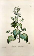 Edwards: Lunaria major. Greater Moonvort. (1769). Kolor. Original-Kupferstich.