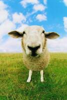 Close Up of Sheep Photo Art Print Poster 24x36 inch