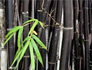 Phyllostachys nigra (Black Bamboo) - 20 Fresh plant seeds