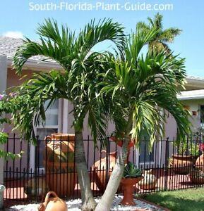 Christmas Palm tree (Veitchia merrillii) 2 seedlings