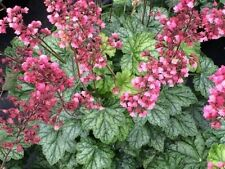 1 Berry Timeless Heuchera Plant - Coral Bells - Gallon Perennial