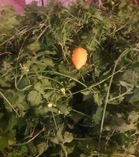 Cerasee Leaves- Freshly Picked To Order