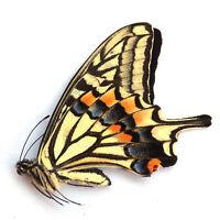 ABERRATION unmounted butterfly Papilionidae papilio xuthus CHINA  #479