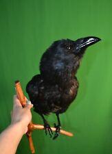 Stuffed raven on a wooden branch Taxidermy Bird Wall Mount