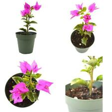 "Royal Purple Bougainvillea Plant Indoors Outoor Bonsai 4""Pot Home & Garden New"
