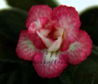 Mini Sinningia SRG's CARDINAL tuber African Violet kin