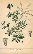 Stampa antica fiori GOMMA ARABICA Acacia Verek botanica 1895 Old antique print