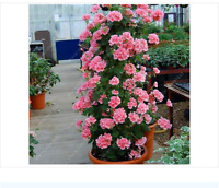 100 pcs/bag bonsai climbing geranium seed, rare potted flower seeds, courtyard
