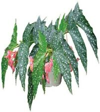 """Angelwing Begonia """"My Special Angel""""  Well Rooted Starter Plant"""