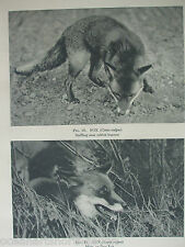 ANTIQUE PRINT 1931 HOUSE FOX SNIFFING NEAR RABBIT BURROW NOCTUNAL ANIMALS NATURE