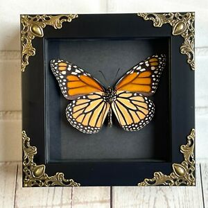 The Monarch (Danaus plexippus) Butterfly Baroque Deep Box Frame Display Insect