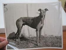 "Vintage Greyhound Dog Racing B/W 8x10"" Promo Photograph  Nov. 1955 Derby Rock"