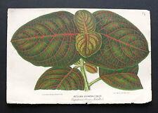 1860.Horto Van Houtteano:Fine Hand Coloured Lithos..Fittonia Gigantea.(Linden).
