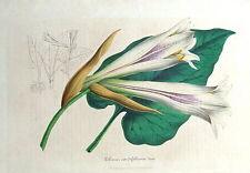 LILIUM CORDIFOLIUM, LILY,   Van Houtte,Antique Botanical Print 1847