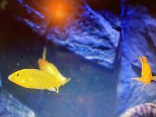 malawi cichlid fish. cheap bargain. Yellow labs