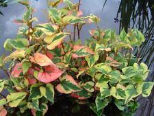 3 Variegated Chameleon Plants~Marginal(shore)~Ko i Pond/Bog/Water garden ~Hardy