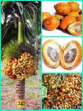 "Arecanut / Betel plant Hybrid "" Saigon "" Variety 1 Healthy Live Plant high yield"