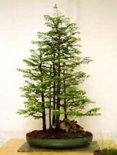 100 x dawn redwood tree seeds. tree seeds qui peut être utilisé pour bonsai.