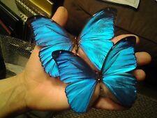 Morpho menelaus, Lot of TEN (10) FRESH, Unmounted, Blue A1 males ( Guyana )