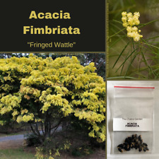 Acacia Fimbriata-'Fringed Wattle'-TREE SEEDS-Buy In Bulk-seeds