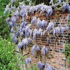 Wisteria sinensis Blue Rain - 1 shrub