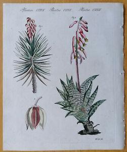 Bertuch Originaldruck Koloriert Botanik Aloe Yukka - 1792