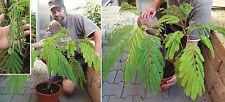 Seidenakazie - der größte Mimonsenbaum der Welt / Bewegt die Blätter / Samen