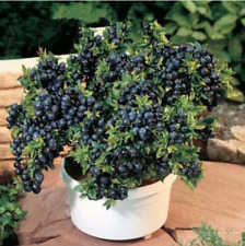 Bonsai Blue Berry Black Pearl Blueberries Plants For Home Garden 100 PCS Seeds A
