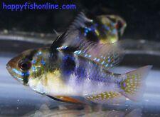 5 GERMAN BLUE RAMS ~DWARF SOUTH AMERICAN CICHLIDS~ $44.44 SHIPPING INCLUDED!!