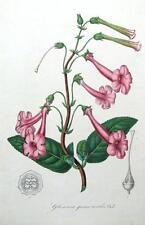 Van Houtte botánico impresión antiguos 1846 gloxinea gesnerioides Litografía