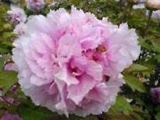 "1x Paeonia Rose "" ETIENNE DE FRANCE ""  Tree Peony ( Peonies /Paeonie ) peonie"