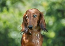 A1| Beautiful Dachshund Dog Poster Size 60 x 90cm Cute Animal Poster Gift #16010