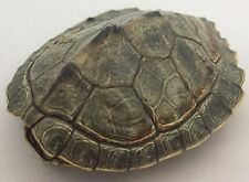 Real Turtle Shell - 3 - 4 inch Long - Map Turtle - Carapace Taxidermy