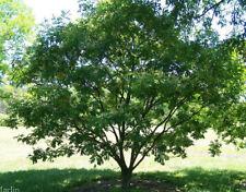 Amur Maackia, Chinese Yellow Wood (Maackia amurensis) 30 seeds