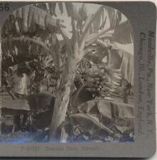 Worker Banana Tree HI Keystone Stereoview c1900