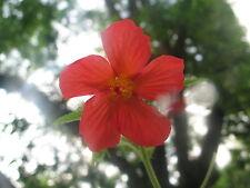 Pavonia missionum Orange Hibiscus pint plant FREE SHIP