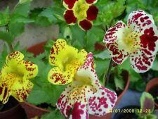 Mimulus tigrinus - Tiger Monkey Flower -  Seeds