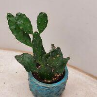 Unusual Opuntia Argentinina cactus cacti succulent live plant #570