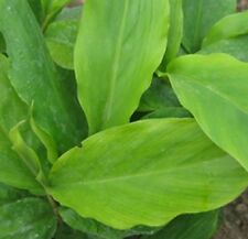 DWARF CARDAMOM LEAF Alpinia nutans strong spicy aroma herb plant in 100mm pot