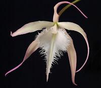 Rare orchid species seedling - Brassavola David Sander
