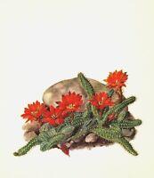 Antique Cactus Print Red Flower Botanical Print Peanut Cactus Illustration 2978