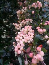 Berberis wilsoniae (20 graines/seeds )