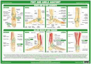 Foot And Ankle Anatomy Poster Showing Joint Function Medical Chart