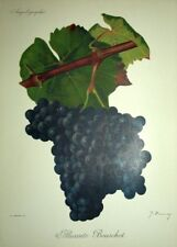 Grape Alicante bouschet WINE WINEMAKING Viala ampelographie Lithograph