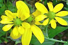 Giant Cutleaf Coneflower Plants ( Rudbeckia lancinata )
