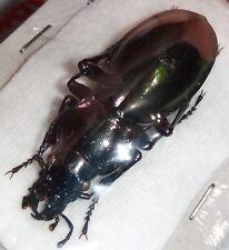 Carabidae Lamprostus nordmanni triumphans 42.1mm Turkey Carabid Beetle Insect