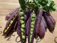 Pea Purple podded (40seeds)- Organic Heirloom from Life-Force Seeds