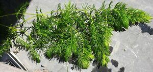 Pond Weed, Hornwort